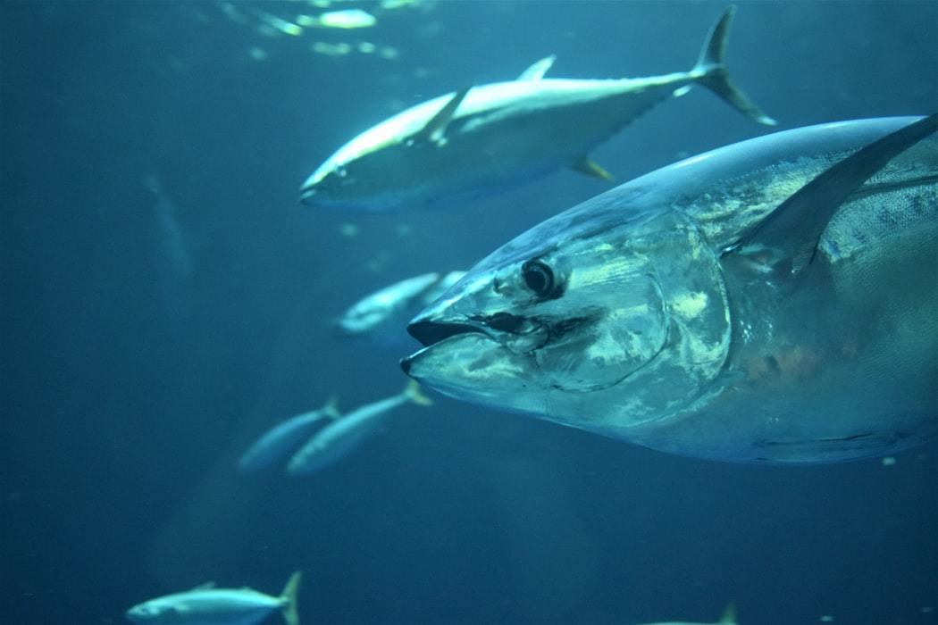 Tuna Fishing Tips