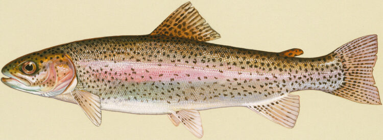 Trout Lures
