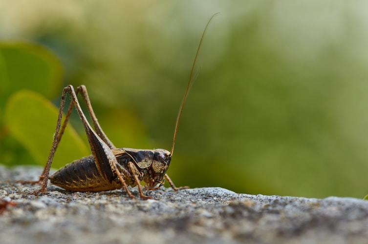 Cricket bait for trout