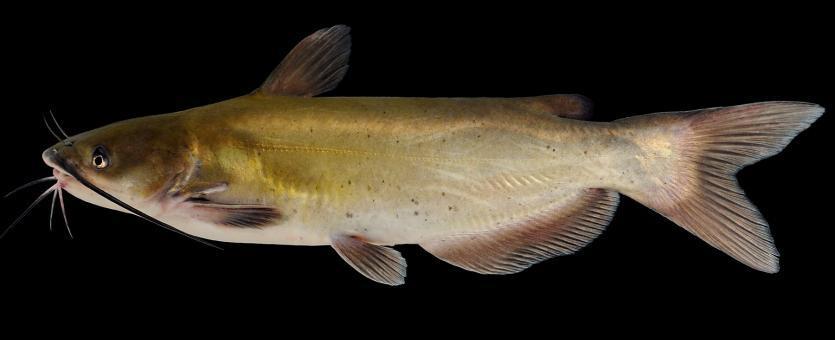Channel Catfish Bait